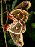 Mating Cecropia Moths Photographic Print by George Grall