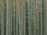 Detail of Arrow-Straight Evergreen Trunks Photographic Print by Mattias Klum