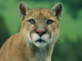 A Close View of a Captive Male Mountain Lion Photographic Print by Norbert Rosing