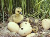 Canada Goslings and Eggs Photographie par Michael S. Quinton