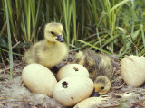 Canada Goslings and Eggs Photographic Print by Michael S. Quinton