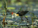 A Comb Crested Jacana Hunts for Food Among Lily Pads Photographic Print by Nicole Duplaix