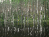 High Water in a Forest of Evergreens and Birches Photographic Print by Mattias Klum