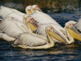 Eastern White Pelicans Photographic Print by Beverly Joubert