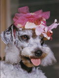 Dog Sporting a Flowered Hat Photographic Print by B. Anthony Stewart