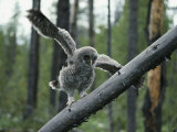 A Great Gray Owlet Uses its Wings for Balance as it Climbs a Tree Photographic Print by Michael S. Quinton