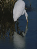 A Great Egret, Casmerodius Albus, Hunts for a Water Borne Meal Photographic Print by Bates Littlehales