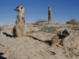 Two Adult Meerkats (Suricata Suricatta) Stand on a Mound Photographic Print by Mattias Klum