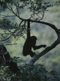 Young Chimpanzee Playing in Tree Photographic Print by Michael Nichols