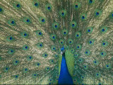 A View of an Indian Peacock with Tail Feathers Spread Photographie par Norbert Rosing