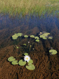 Water Lily Pads and Flower Photographic Print by Nicole Duplaix