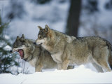 Wolves, Bayerischer Wald National Park, Germany Photographic Print by Norbert Rosing
