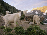Mountain Goats Near Sperry Chalet, Glacier National Park, Montana Photographic Print by Skip Brown