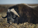 A Muskox Photographic Print by Lowell Georgia
