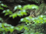 Owl in Woodland, Sachsische Schweiz National Park, Germany Photographic Print by Norbert Rosing