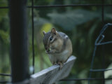 A Chipmunk Eats a Seed in Rock Creek Park Photographic Print by Taylor S. Kennedy