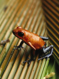 Close View of Poison Frog on Palm Leaf Photographic Print by Steve Winter