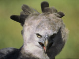 A Harpy Eagle Portrait Photographic Print by Ed George