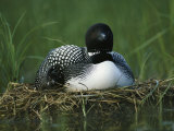 A Loon Shelters a Chick under its Wing as it Sits on its Nest Photographic Print by Michael S. Quinton