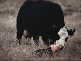 First Order of the Day for a Newborn Calf is a Wash by its Mother Photographic Print by Farrell Grehan