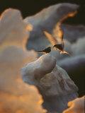 Une sterne arctique donnant à manger à une autre Photographie par Norbert Rosing