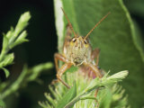 A Grasshopper Perched on a Plant Photographic Print by Darlyne A. Murawski