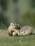Young American Badgers Photographic Print by Norbert Rosing