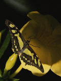A Malachite Butterfly Resting with its Wings Spread Photographic Print by Brian Gordon Green