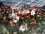 Amaryllis Show at the Botanic Garden Photographic Print by Charles Martin
