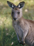 A Close View of a Kangaroo Photographic Print by Nicole Duplaix