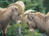 Two Young Bighorn Sheep Come Face to Face Fotografisk tryk af Paul Chesley