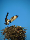 Osprey over Nest, Muritz National Park, Germany Photographic Print by Norbert Rosing