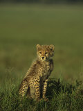 A Portrait of a Young Cheetah Cub Photographic Print by Norbert Rosing