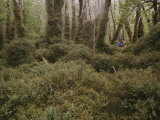 A Hiker Explores a Mossy Enchanted Forest Photographic Print by Gordon Wiltsie