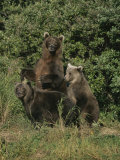 Group Portrait of Three Kodiak Brown Bears on Kodiak Island, Alaska Photographic Print by George F. Mobley
