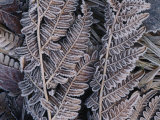 Close-up of Frosted Leaf Fronds Photographic Print by Mattias Klum