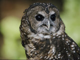 Captive Northern Spotted Owl at the Zoo Photographic Print by Joel Sartore