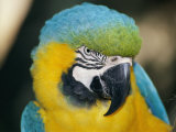 A Close-up of the Head of a Macaw Stampa fotografica di St. John, Stephen