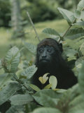 A Juvenile Howler Monkey Hides in a Patch of Greenery Photographic Print by Nicole Duplaix