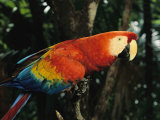 Scarlet Macaw Photographic Print by Steve Winter