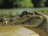 A Spectacled Caiman in Venezuela Photographic Print by Ed George