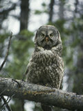 Portrait of a Great Gray Owl Who Has Just Eaten its Prey Photographic Print by Michael S. Quinton