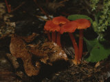 A Cluster of Vibrant Red Mushrooms Brighten up the Forest Floor Photographic Print by Bates Littlehales