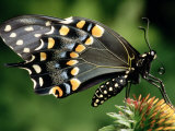 Swallowtail Butterfly Photographic Print by Russell Burden