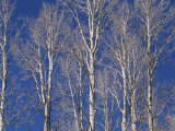 The White Bark of Aspen Trees Contrasts with the Deep Blue Sky Photographic Print by Stacy Gold