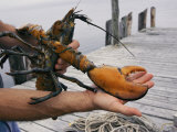 A Lobster Intended to Go into a Research Pond Photographic Print by Stephen St. John