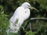 A Snowy Egret at a Rookery Connected to the Saint Augustine Alligator Farm Photographic Print by Stephen St. John