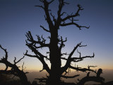 Silhouette of a Bristlecone Pine, Notch Peak, House Range, Utah Photographic Print by Bill Hatcher
