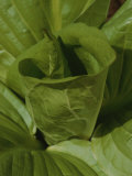 Fresh Leaves Unfurl from the Center of a Skunk Cabbage Plant Photographic Print by Bates Littlehales