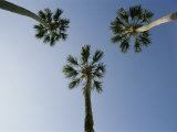 Palm Trees Photographed against a Blue Florida Sky Photographic Print by Stephen St. John